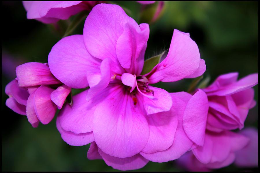 Flower Photograph - Geranium IIi by Aya Murrells