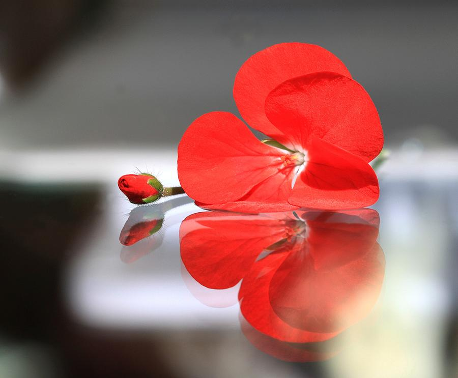 Geranium Photograph - Geranium Reflections by  Andrea Lazar