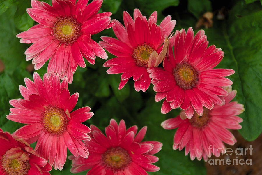 Pink Photograph - Gerber Daisies Cluster by William Norton
