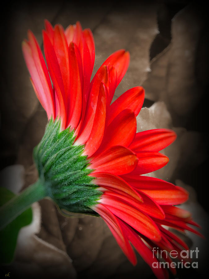 Red Flower Photograph - Gerber Daisy Bashful Red by Ella Kaye Dickey