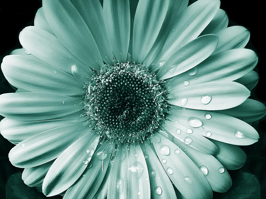 raindrops gerber daisy flower teal photograph by jennie marie schell, Beautiful flower