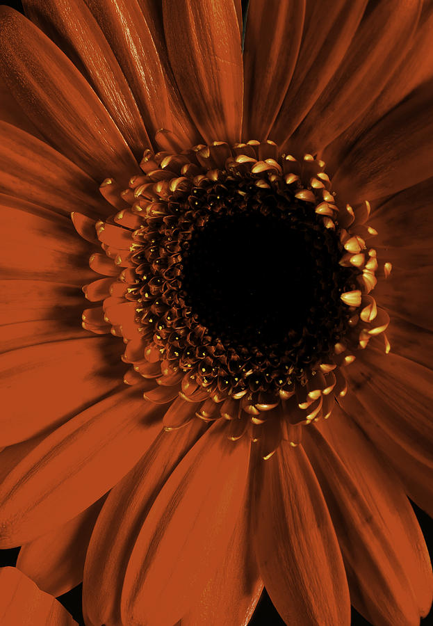 gerber daisy by Pristine Images