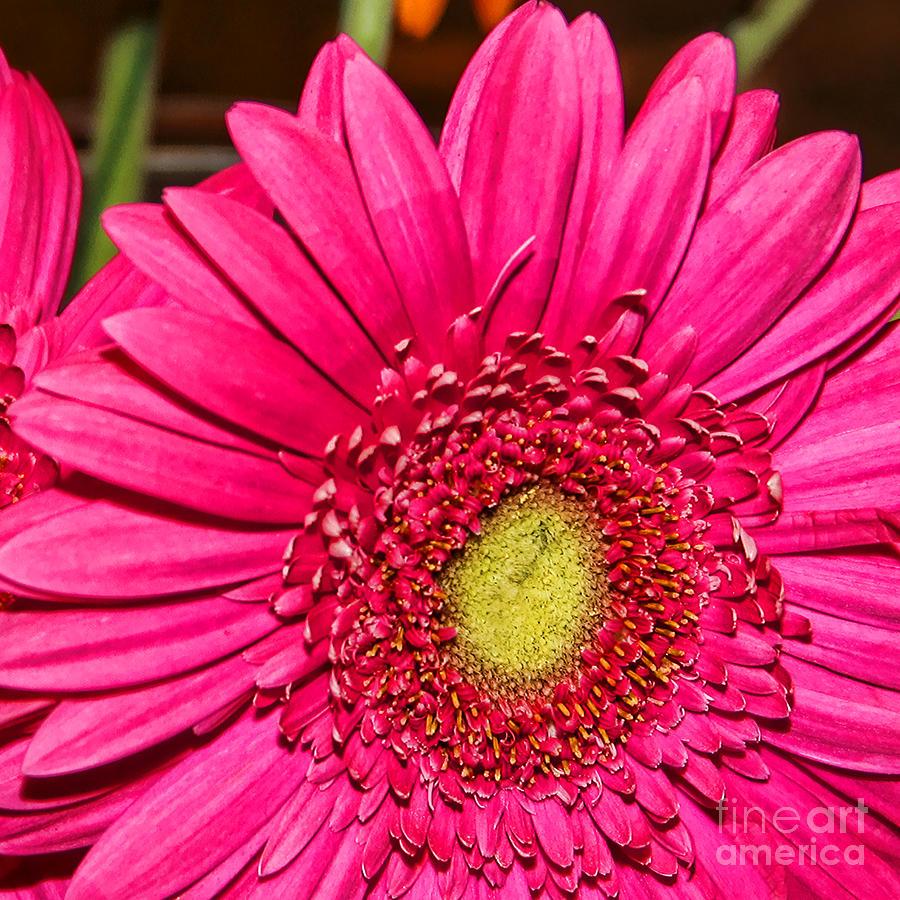 Gerber of Pink by Diana Sainz by Diana Raquel Sainz