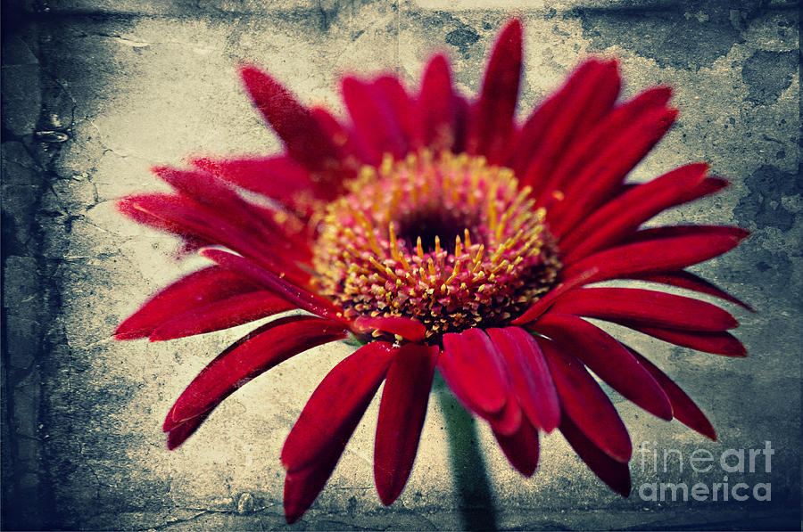 Flowers Photograph - Gerbera by Angela Doelling AD DESIGN Photo and PhotoArt