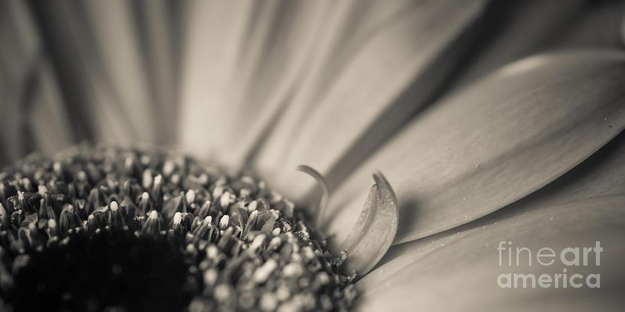 2x1 Photograph - Gerbera Blossom - Bw by Hannes Cmarits