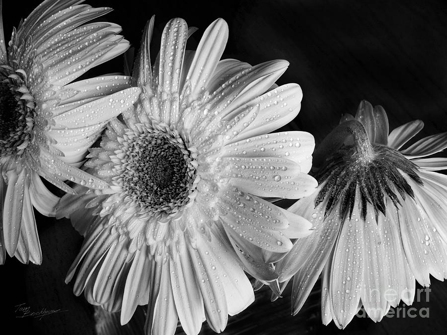 Gerbera Daisies Photograph - Gerbera Daisies Black And White by Tom Brickhouse