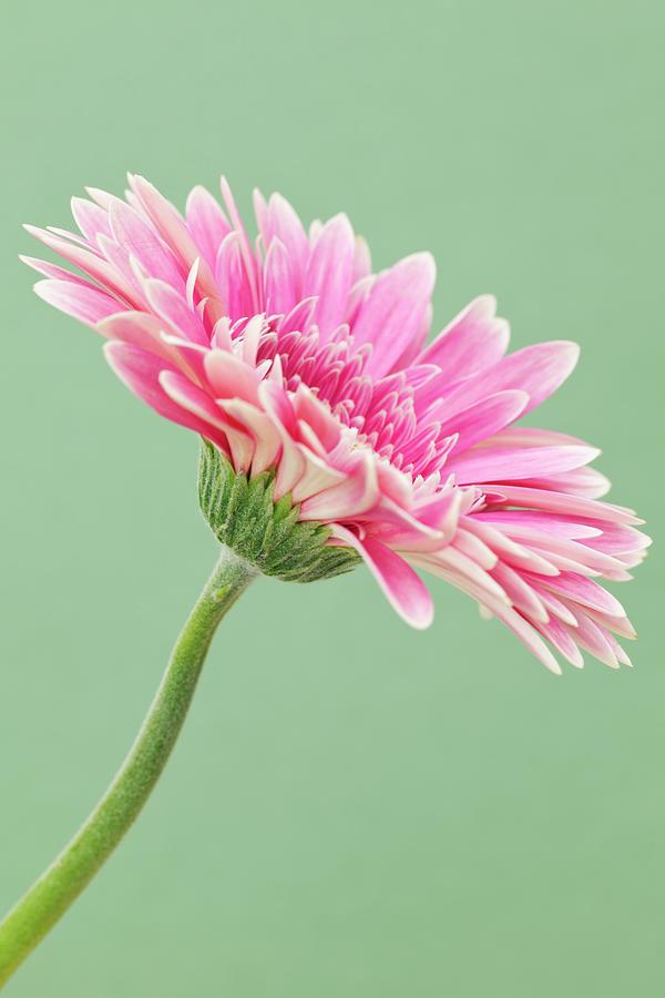 Gerbera Daisy Flower Photograph by Andrew Dernie
