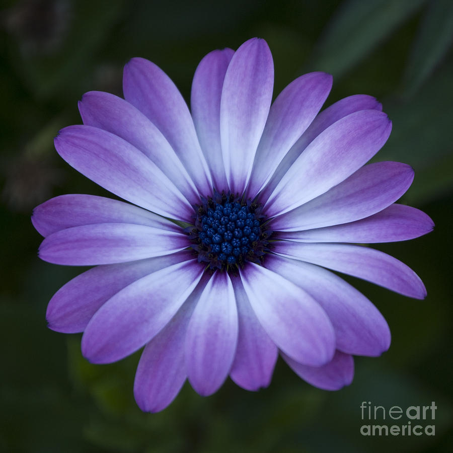 Gerbera daisy in purple photograph by susan parish floral photograph gerbera daisy in purple by susan parish izmirmasajfo