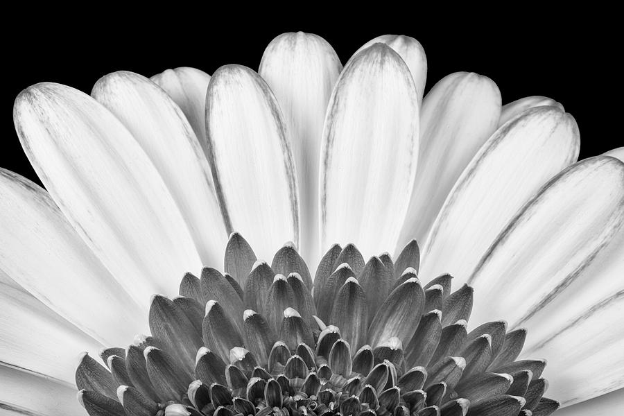 Abstract Photograph - Gerbera Rising by Adam Romanowicz