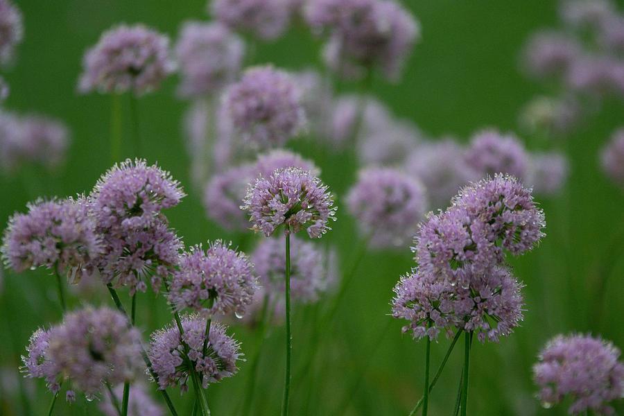 Lavender Photograph - German Garlic by Kimberly Ayars