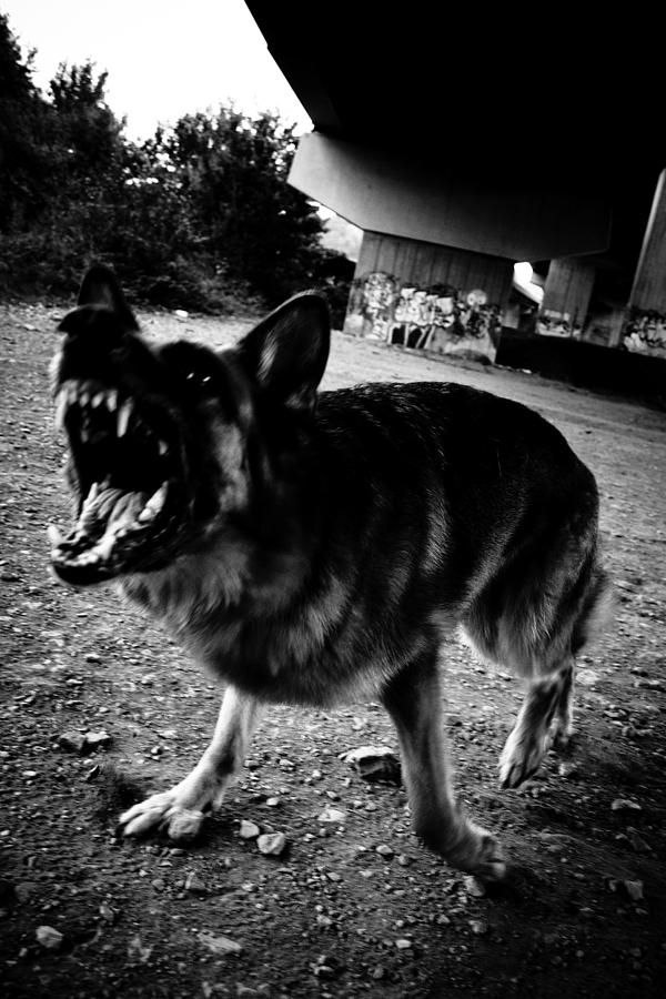 German Sheperd Barking Angry Attack Photograph by Adam Hirons Photography