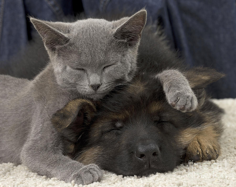 German Shepherd And Chartreux Kitten Photograph By Jean Michel