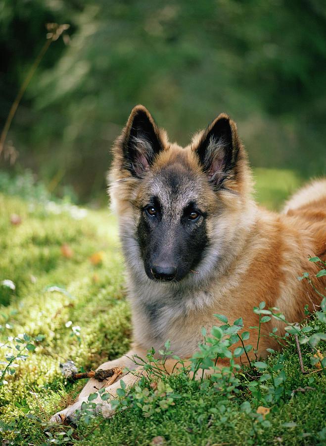 Alsatian Photograph - German Shepherd Dog by Bjorn Svensson/science Photo Library