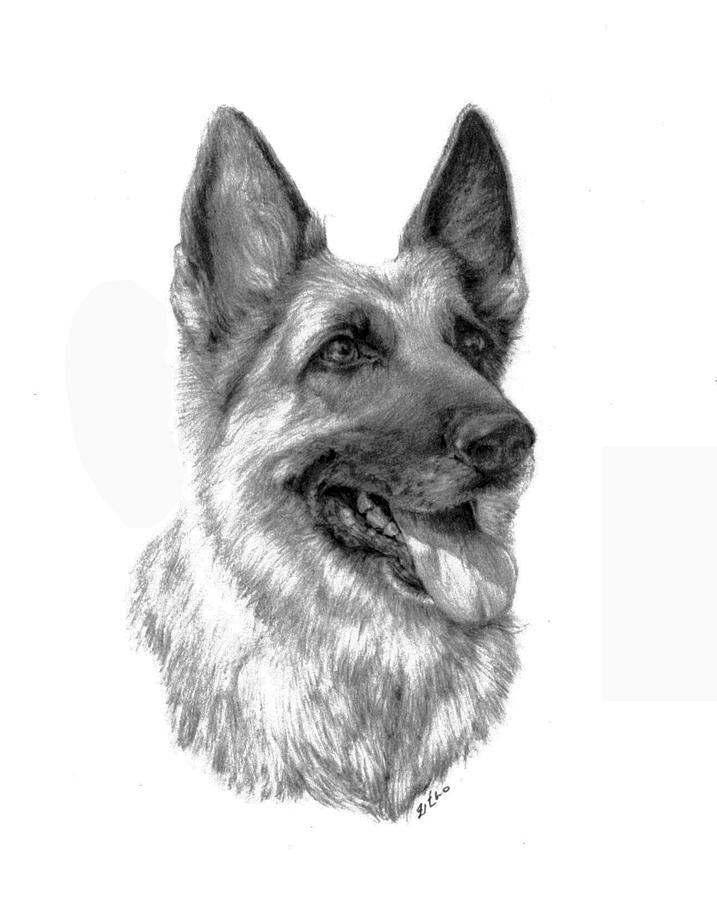 German Shepherd Drawing By Lou Ortiz - German-shepherd-drawings