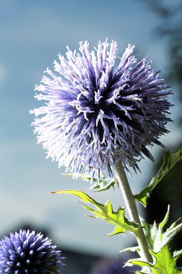 Germany, Bavaria, Blue Thistle, Close Up Photograph by Westend61