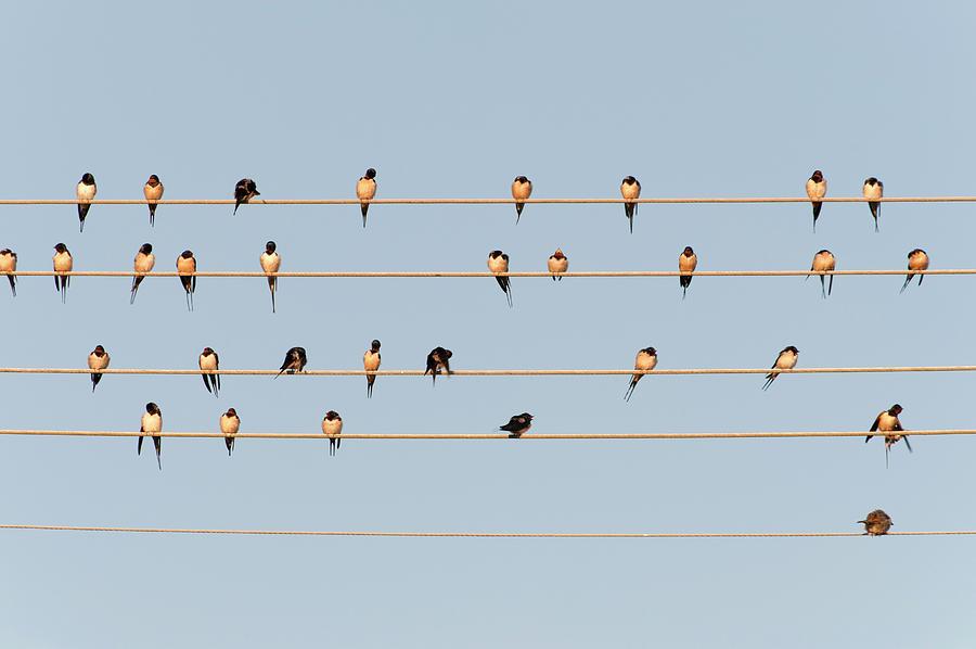 Germany, Unteruhldingen, Flock Of  Barn Photograph by Westend61