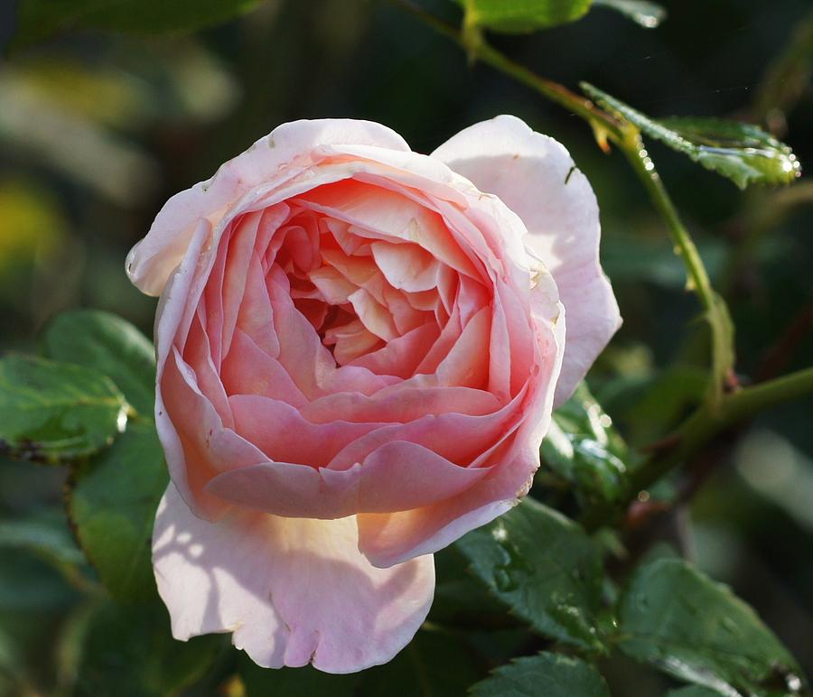 Nature Photograph - Gertrude Jeykell Old World Rose by Rosemarie E Seppala