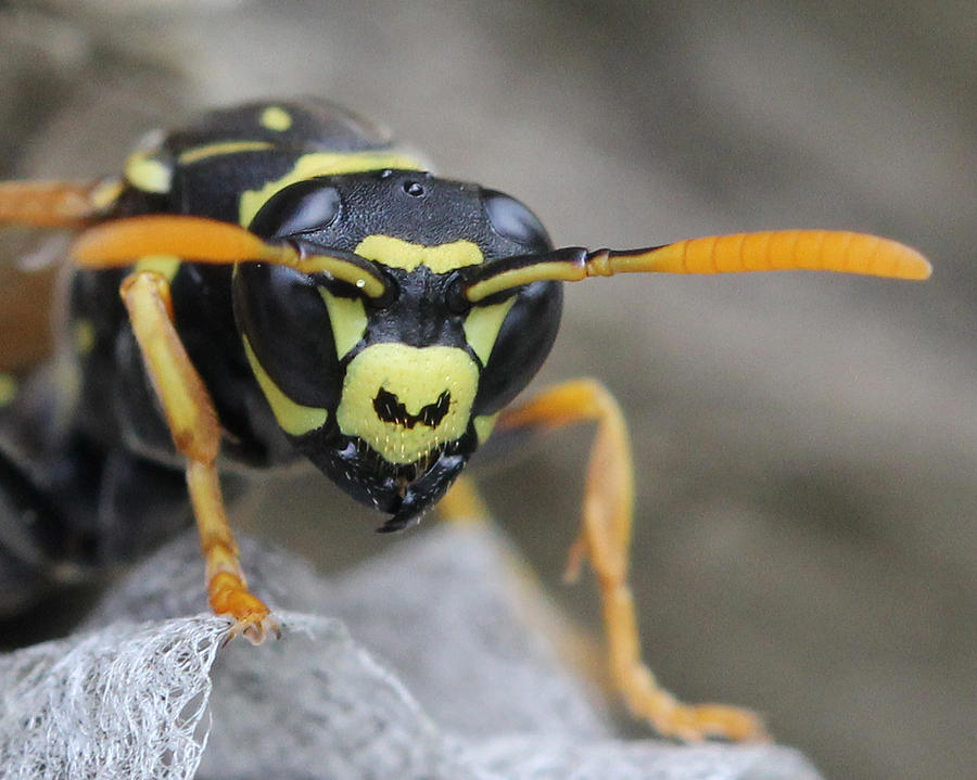 Wasps Photograph - Get Away From Me by Bruce  Morrell