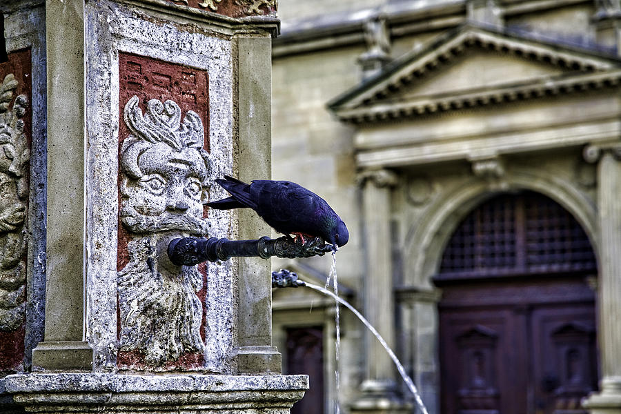 Pigeon Photograph - Getting A Drink by Joanna Madloch