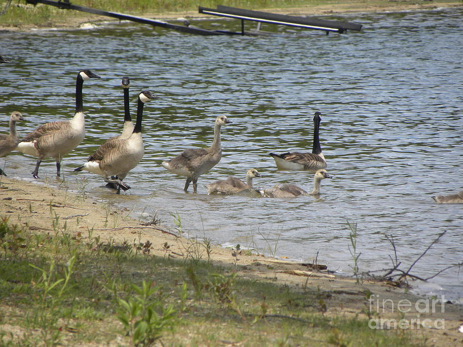 Geese Photograph - Getting Our Feet Wet by Cim Paddock