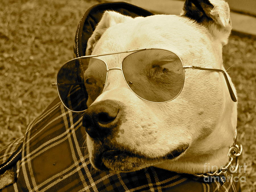 Pit Bulls Photograph - Getting Ready To Cruise by Qs House of Art ArtandFinePhotography