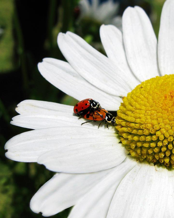 Ladybug Photograph - Getting To Know You by Jennie Breeze