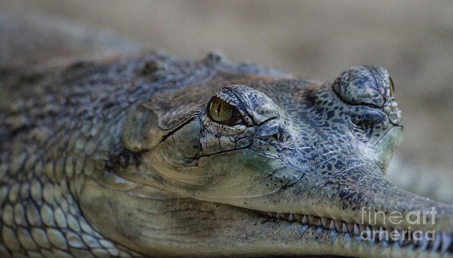 Gharial Photograph - Gharial Smile by Ruth Jolly