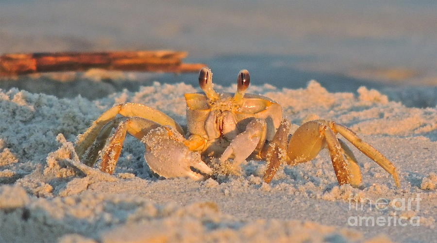 Crab Photograph - Ghost Crab by Eve Spring