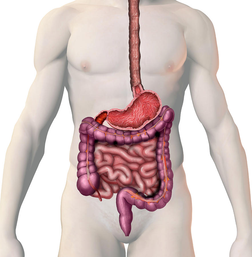 Gi Tract Photograph By Carol Mike Werner