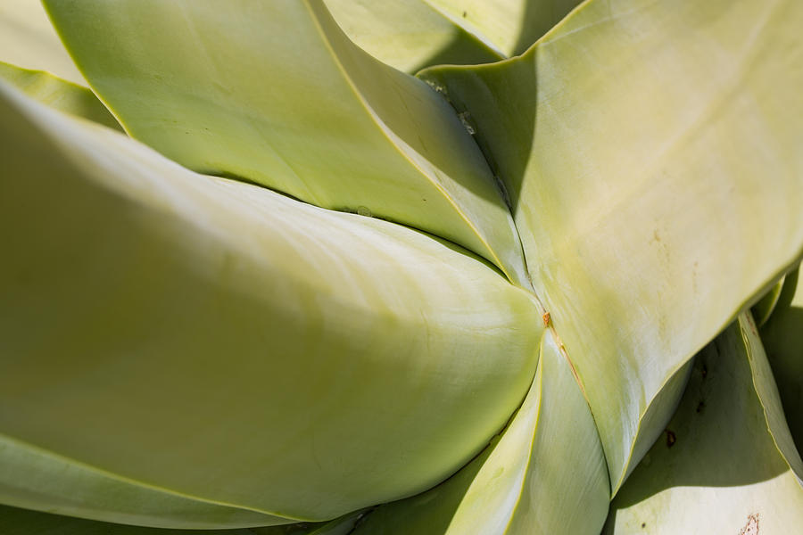 Giant Agave Abstract 9 by Scott Campbell