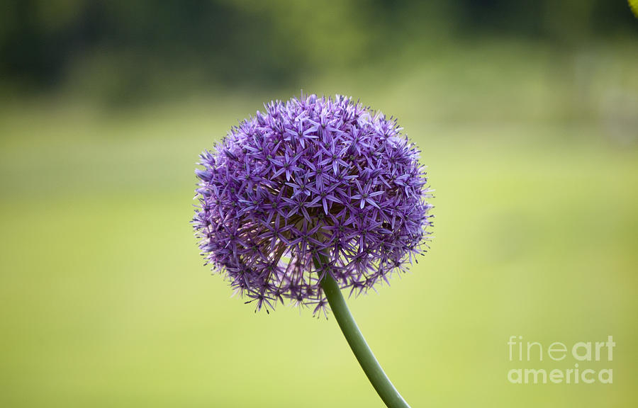 Giant Allium Photograph - Giant Allium Flower by Michael Ver Sprill