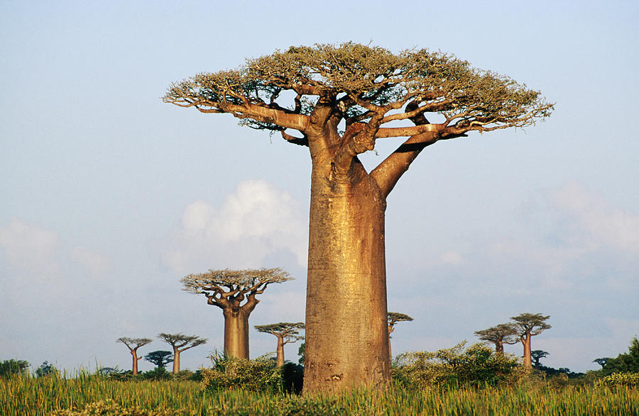 Giant Baobabs Adansonia Grandidieri Photograph by Karl Lehmann