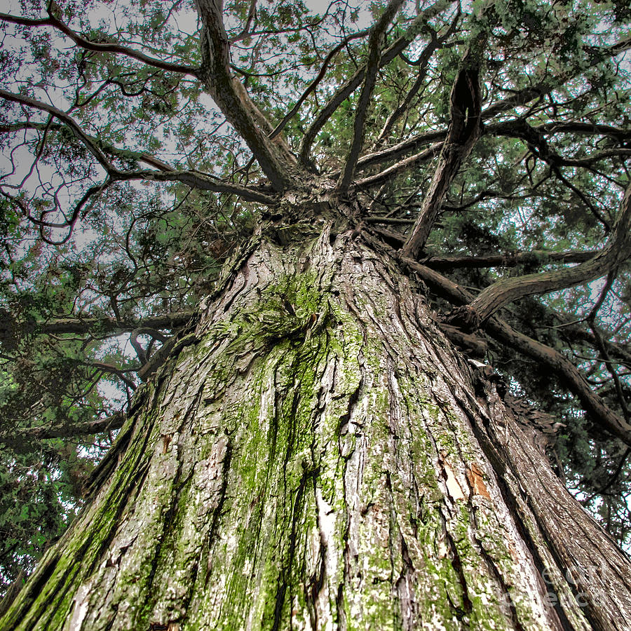 Giant Canopy Photograph