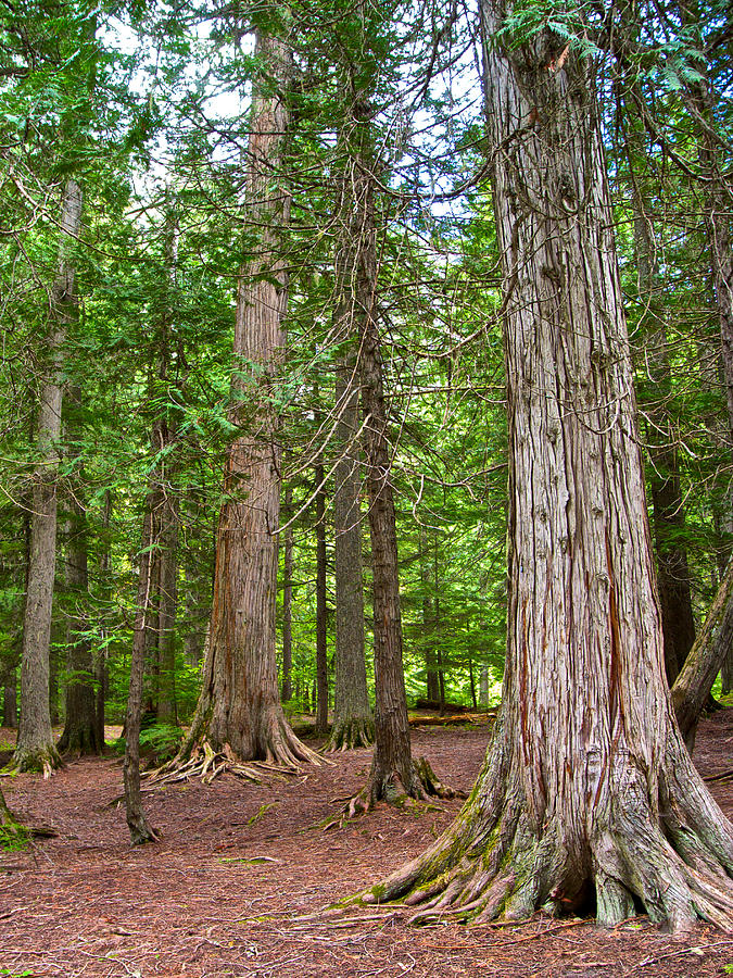 Hiking Photograph - Giant Cedars On Trail Of The Cedars In Glacier Np-mt by Ruth Hager