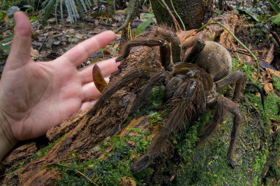 Giant Goliath Spider Photograph by Piotr Naskrecki