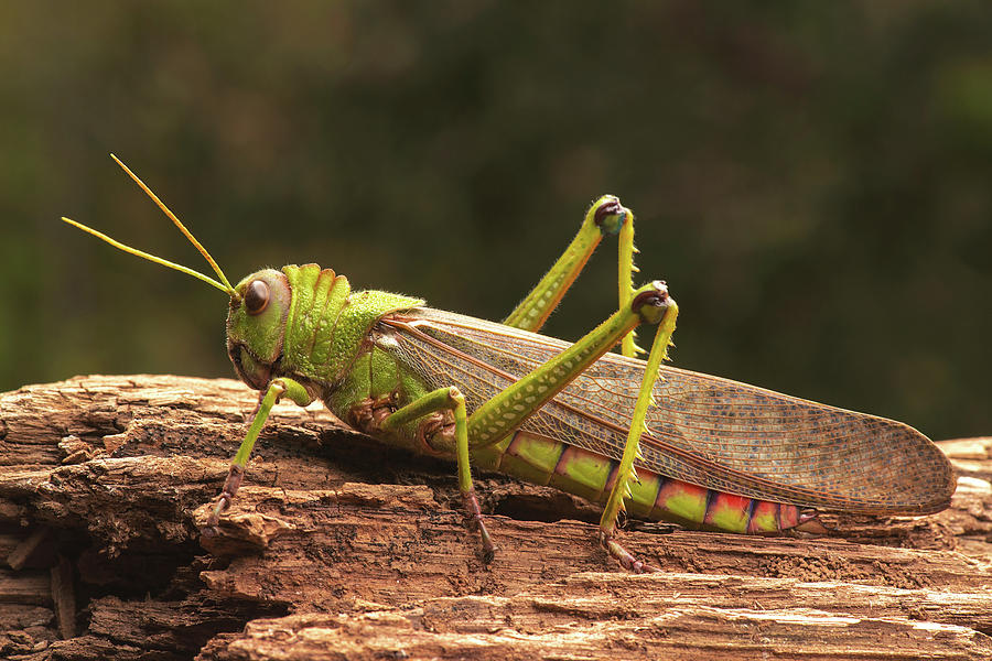 Close Up Photograph - Giant Grasshopper by Ktsdesign