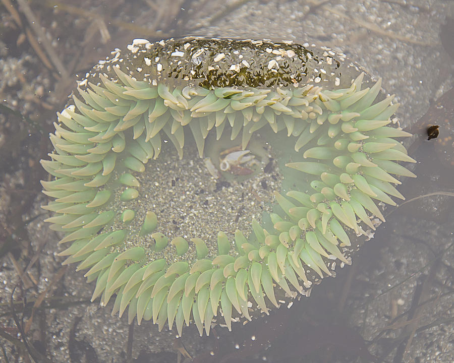 Giant Green Anemone by Lee Kirchhevel