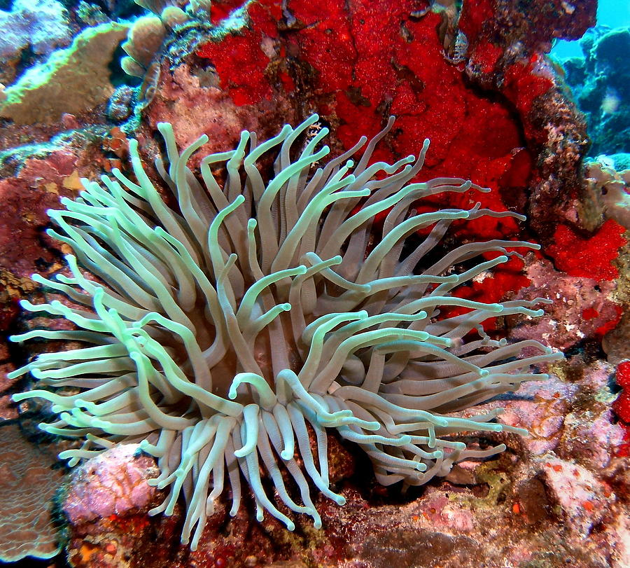 Nature Photograph - Giant Green Sea Anemone Against Red Coral by Amy McDaniel