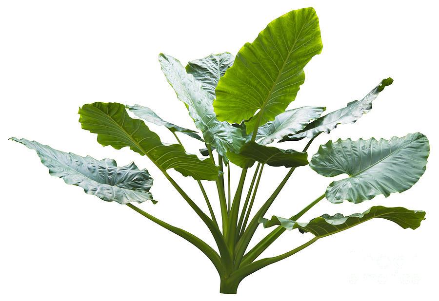 Araceae Photograph - Giant Leaf by Atiketta Sangasaeng