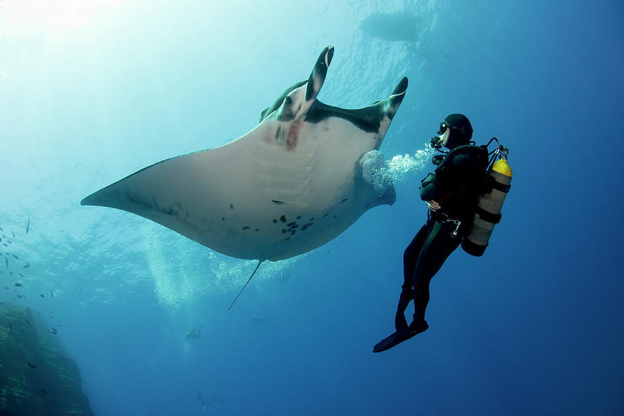 Giant Manta Ray With A Scuba Diver Photograph by Gerard Soury