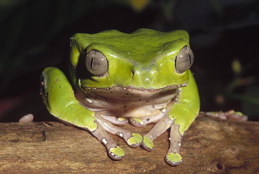 Giant Monkey Frog  Venezuela Photograph by Gerry Ellis