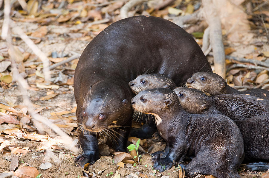 Color Image Photograph - Giant Otter Pteronura Brasiliensis by Panoramic Images