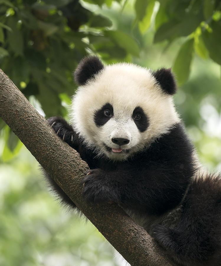 Giant Panda baby cub in Chengdu area, China Photograph by Alatom