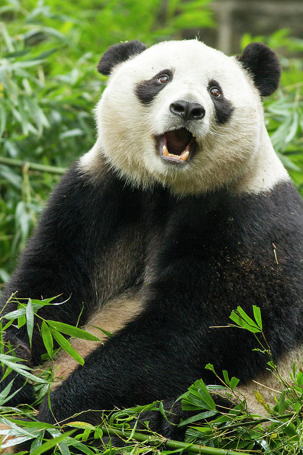Giant Panda, Chengdu, China Photograph by Paul Souders