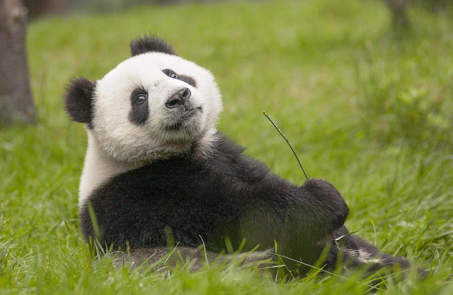 Giant Panda Cub Wolong National Nature Photograph by Katherine Feng