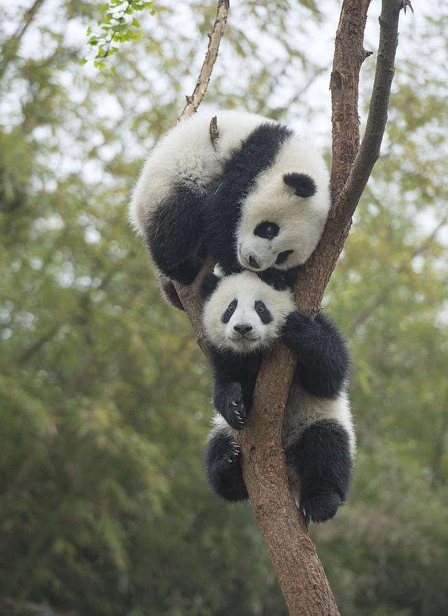 Giant Panda Cubs Playing Giant Panda Cub...