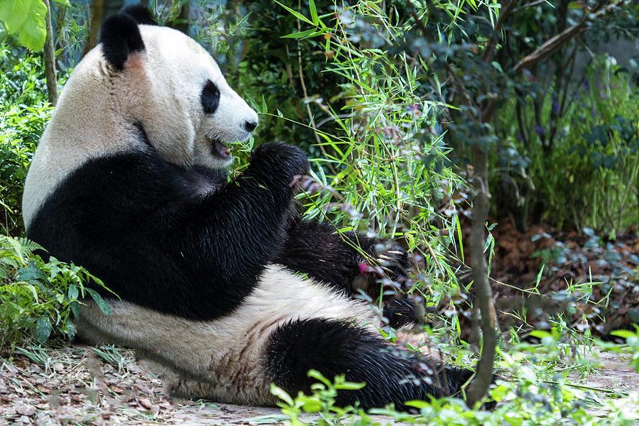 Giant Panda Photograph by Manoj Shah