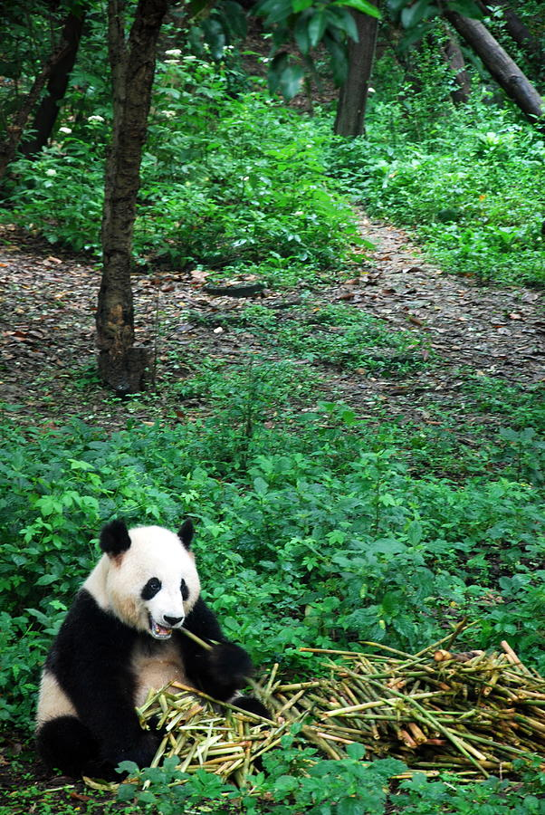 Giant Panda Photograph by Photography By Frieda Ryckaert