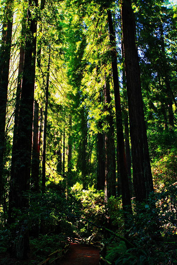Usa Photograph - Giant Redwood Forest by Aidan Moran