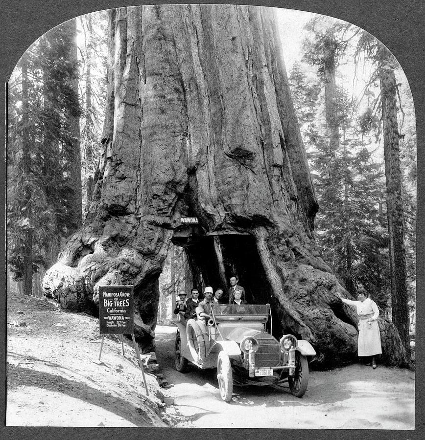 Wawona Tree Photograph - Giant Sequoia wawona Tree by Library Of Congress